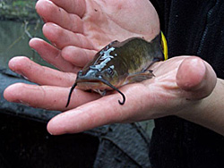 A brown bullhead caught during a fish trapping project