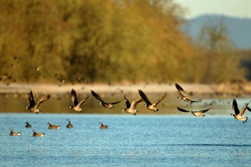 Geese Take Flight by George Gentry