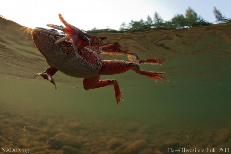 Swimming red-legged frog.